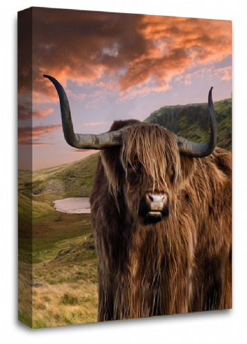 Scottish Highland Cattle Canvas Art Picture Brown  Grey White Animal Wall Print 20 x 30